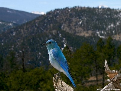 Brightly colored male Mountain Bluebird