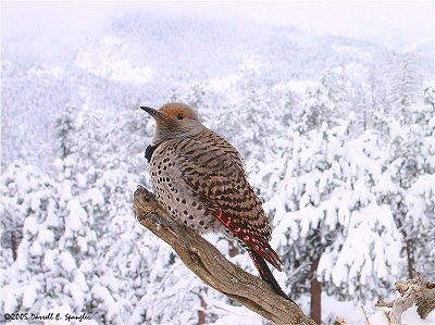 Red-shafted Flicker perched on branch over-looking Roosevelt National Forest on Friday morning