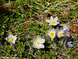 Pasque Flowers on Wednesday afternoon
